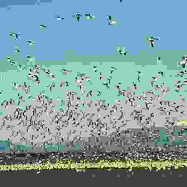 Return of Snow Geese to Skagit Valley Washington