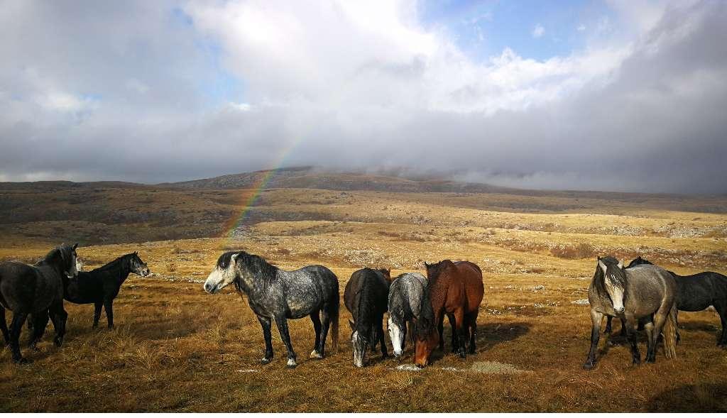 Wild horses - Kruge